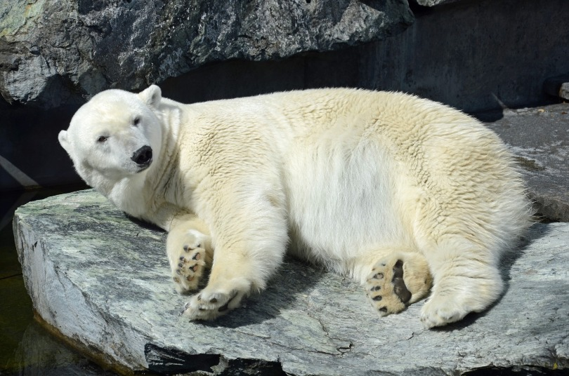 Polar Bear, Stuttgart Zoo