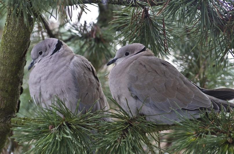 dove-evergreen