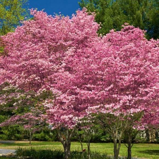 pink-flowering-dogwood-2-600x600
